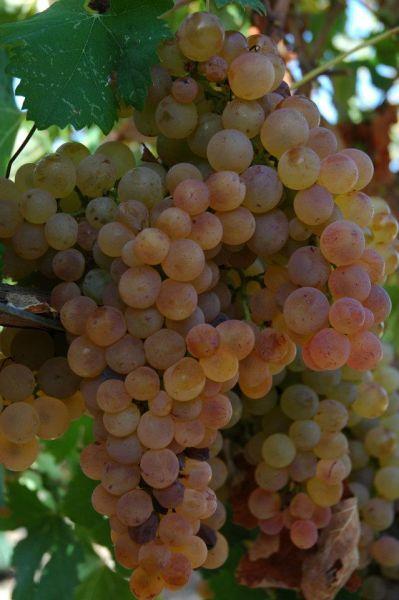 viticoltoriromangia_06