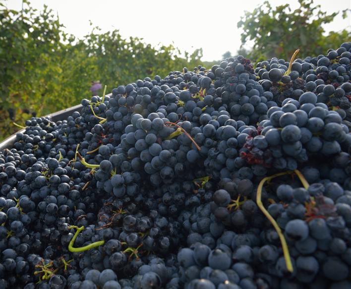 vitigno-dolcetto