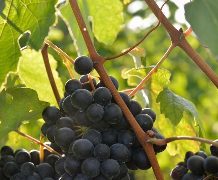 vitigno-grignolino