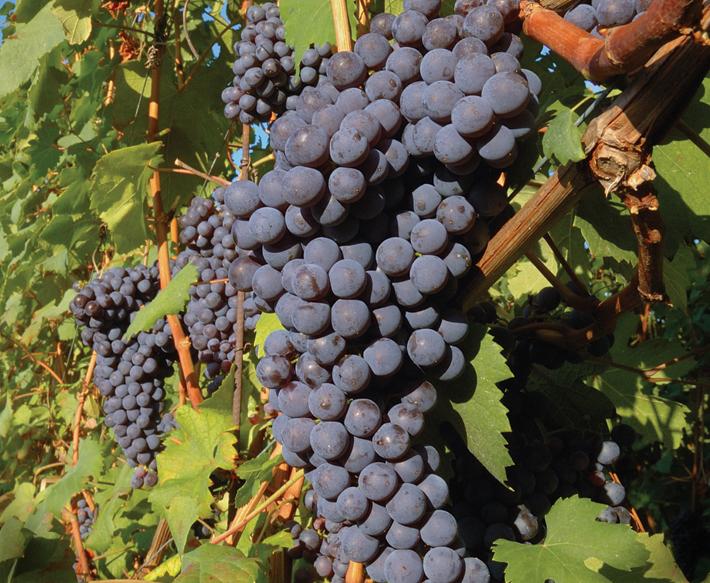 vitigno-nebbiolo